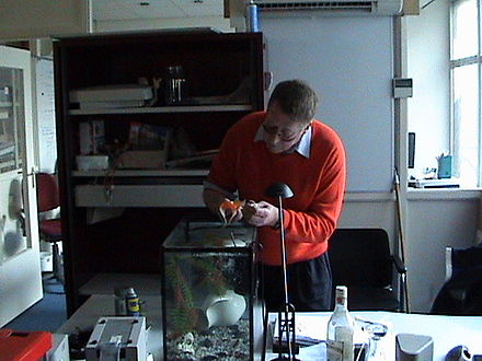 A veterinarian gives an injection to a goldfish - Fish diseases and parasites