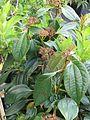 Viburnum cinnamomifolium (8937241316).jpg