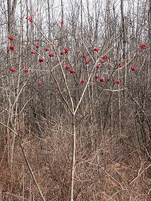 Viburnum opulus SCA-02629.jpg