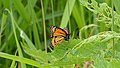 Viceroy (Limenitis archippus) - Guelph, Ontario.jpg