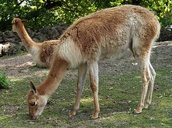 Vikunjas sind die kleinsten lebenden Kamele
