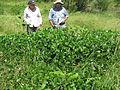 Vigna unguiculata habit4 (10736929626).jpg