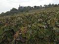 Vigne (environs de Vernezay 51) Cl J Weber0001 (23309794739).jpg