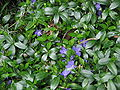 Vinca minor clump.jpg