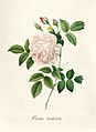 Vintage Flower illustration by Pierre-Joseph Redouté, digitally enhanced by rawpixel 100.jpg