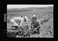 Vintage activities at Richon-le-Zion, Aug. 1939. Grape pickers, old Yemenite & European immigrant LOC matpc.19762.jpg