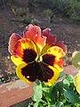 Viola tricolor var. hortensis, garden pansy from Nilgiris (3).jpg