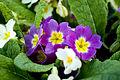 Violetas03.jpg
