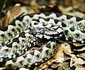 Vipera ammodytes meridionalis.jpg