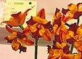 Volkertara Venus -台南國際蘭展 Taiwan International Orchid Show- (26952962768).jpg