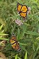Volunteers with Monarch Teacher Network release butterflies in Arlington National Cemetery (28255270974).jpg