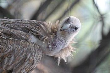 Vulture in Assam state Zoo.jpg