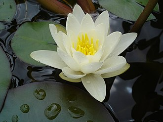 Marsh - White water lilies are a typical marsh plant in European areas of deeper water.