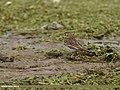Water Pipit (Anthus spinoletta) (31882890774).jpg