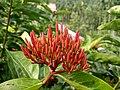 Wayanadan-random-flowers IMG 20180524 153055 HDR (41475313405).jpg
