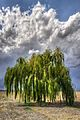 Weeping Willow - Sant'Agata Bolognese, Bologna, Italy 16.jpg