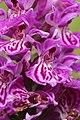 Western Marsh Orchid - Dactylorhiza majalis (14731081022).jpg