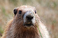 What a Lovely Marmot (4238903046).jpg