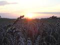 Wheat-Field Brandenburg 2 (flo).jpg