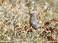 White-browed Tit Warbler (Leptopoecile sophiae) (31793810578).jpg