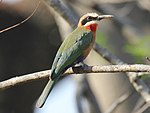 White-fronted Bee-eater RWD2.jpg