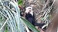 White-headed Capuchin (Cebus capucinus) (28175978617).jpg