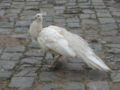 White Peafowl.jpg
