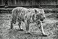 White Tiger at the Bannerghatta National Park (15747282878).jpg