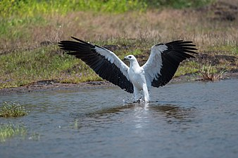 White bellied sea eagle @ madayipara.jpg