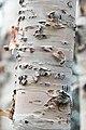 White birch Betula papyrifera (29773857090).jpg