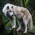 White wolf at Wolfspark Werner Freund (cropped).jpg