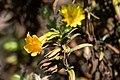 Wide-throated Yellow Monkey Flower Muir Beach Marin CA 2018-09-20 13-59-38 (44781014355).jpg