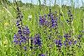 Wiesensalbei (Salvia pratensis) - 170521 (34663189352).jpg