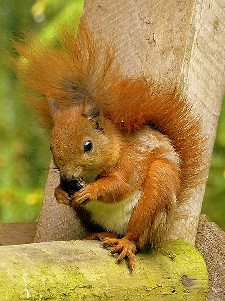Red squirrel photograph by Pawel Ryszawa (Wikimedia Commons)