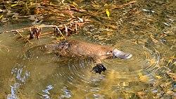 Duck-Billed Platypus Eggs
