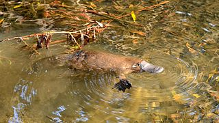 Platypus species of mammal