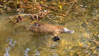 Platypus - Image: Wild Platypus 4