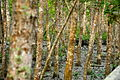 Wildschwein in den Sundarbans.JPG