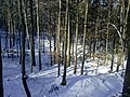 Winter beech forest.jpg