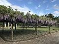 Wisteria floribunda in Hagi Castle 3.jpg