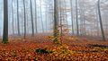 Wohldorf Buchenwald Kleinbuche Herbst Nebel 2014.jpg