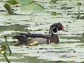 Wood Duck (7342748888).jpg