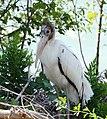 Wood Stork (36152969620).jpg