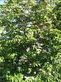 Wzwz tree 15b Cornus florida 'Cherokee Brave'.jpg