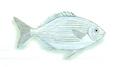 XRF-Kyphosus cinerascens.png