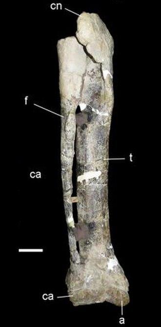 Bajo Barreal Formation - Image: Xenotarsosaurus lower leg