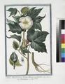 Xylon Americanum, fructu oblongo, accuminato - Bambagia - Coton (NYPL b14444147-1124985).tiff