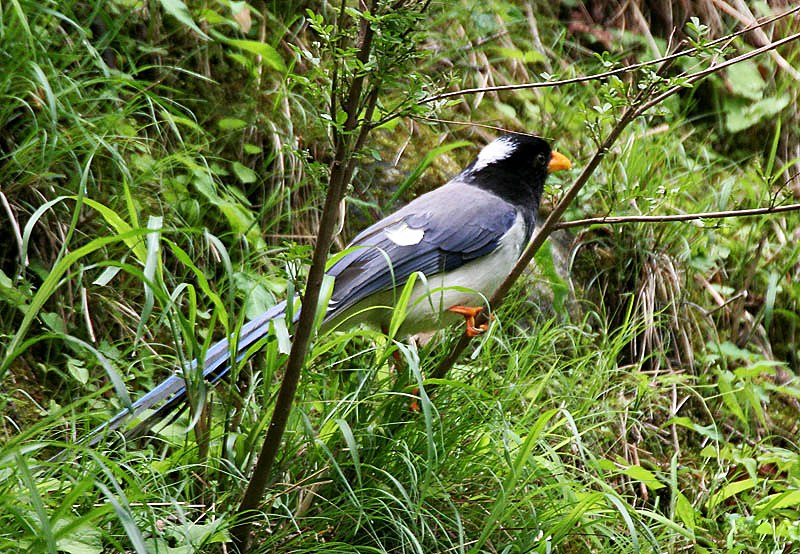 Yellow-billed Blue Magpie I IMG 7393