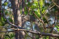 Yellow-crowned Night Heron (5295744380).jpg