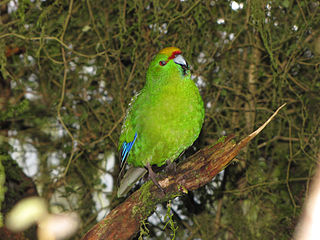 Yellow Crowned Parakeet